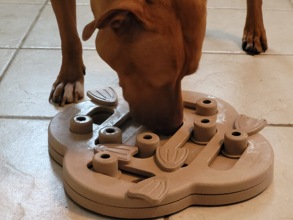 orange pitbull playing with outward hound puzzle toy